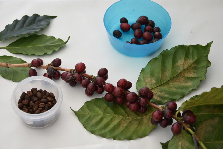 Kaffee ist eine der Nutzpflanzen, die wir in diesem Angebot genauer unter die Lupe nehmen